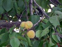 Crecimiento de fruta en las frutas de árbol Fotografía de archivo