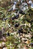 Crecimiento de fruta de la aceituna negra en el olivo salvaje Fotografía de archivo