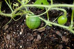 Crecimiento de fruta de la planta de Watermellon en jardín imagen de archivo libre de regalías