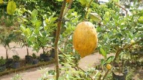 Crecimiento de fruta maduro grande del limón en pequeño árbol en pote del jardín en la plantación orgánica de la granja 4K Bali,  almacen de video