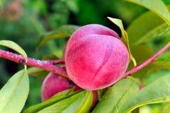 Crecimiento de frutas dulce del melocotón en una rama de árbol de melocotón Imágenes de archivo libres de regalías