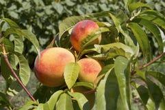 Crecimiento de frutas maduro del melocotón en una rama de árbol de melocotón. Fotos de archivo