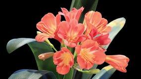 Crecimiento de HD mate de los brotes de flor de Clivia, LLENO ALFA. (Miniata de Clivia) metrajes