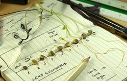 Crecimiento de la planta de semillero de las lentejas Imagen de archivo