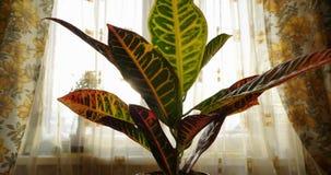 Crecimiento de la planta del Codiaeum, levantándose después de regar, fondo de la ventana, interior casero acogedor, color calien almacen de metraje de vídeo