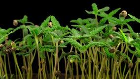 Crecimiento de la planta de marijuana almacen de video