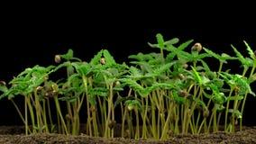 Crecimiento de la planta de marijuana metrajes