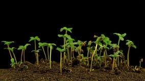 Crecimiento de la planta de marijuana almacen de metraje de vídeo
