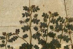 Crecimiento de la planta sensible Foto de archivo libre de regalías