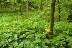 Crecimiento de la primavera en bosque Foto de archivo