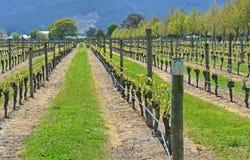 Crecimiento de la primavera en las vides de Sauvignon Blanc en Marlborough, nuevo Zeala Imagen de archivo libre de regalías