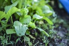 Crecimiento de las hojas del coriandro imagen de archivo