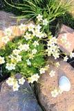 Crecimiento de las margaritas blancas Foto de archivo libre de regalías
