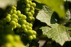 Crecimiento de las uvas Fotografía de archivo