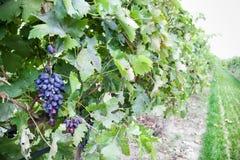 Crecimiento de las uvas Imagen de archivo libre de regalías