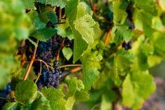 Crecimiento de las uvas rojas Imágenes de archivo libres de regalías