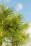 Crecimiento de los conos del pino Imágenes de archivo libres de regalías