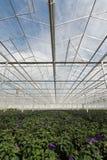 Crecimiento de los heliótropos de jardín dentro de un invernadero Imagen de archivo