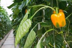 Crecimiento de los paprikas amarillos dentro de un invernadero Imagen de archivo libre de regalías