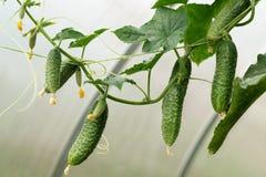 Crecimiento de los pepinos Fotografía de archivo libre de regalías