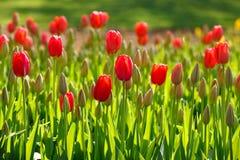 Crecimiento de los tulipanes de la primavera Fotografía de archivo