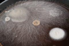 crecimiento de microorganismos en una placa de Petri, de bacterias, de la levadura y de m fotografía de archivo libre de regalías