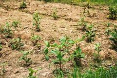 Crecimiento de tierra de la naturaleza de la pequeña planta del árbol Imagen de archivo libre de regalías