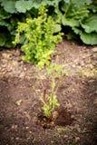 Crecimiento de un arbusto de zarzamora, arbustos de la baya en el jardín fotos de archivo libres de regalías