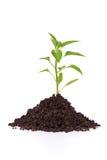 Crecimiento de una planta de la pimienta en suelo Fotografía de archivo