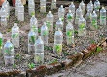 Crecimiento de verduras asegurado en botellas plásticas Imagen de archivo libre de regalías