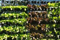 Crecimiento de verduras hidropónico en granja Foto de archivo
