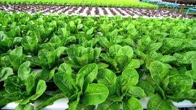 Crecimiento de verduras hidropónico en invernadero