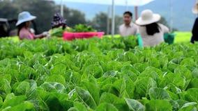Crecimiento de verduras hidropónico en invernadero almacen de metraje de vídeo