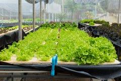 Crecimiento de verduras joven en la bandeja del agua en el sistema de control, hydrop Fotografía de archivo libre de regalías