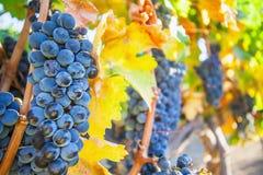 Crecimiento de vino Fotografía de archivo