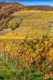 Crecimiento de vino en la colina con las terrazas Fotos de archivo libres de regalías