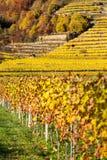 Crecimiento de vino en la colina con las terrazas Foto de archivo libre de regalías