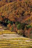 Crecimiento de vino en la colina con las terrazas Imágenes de archivo libres de regalías