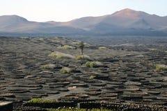 Crecimiento de vino en la lava de Lanzarote imagenes de archivo