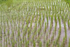 Crecimiento del agua del fango del campo del arroz Imagen de archivo
