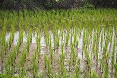Crecimiento del agua del fango del campo del arroz Imagen de archivo libre de regalías