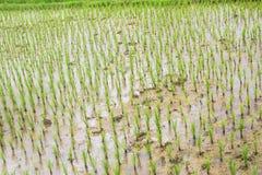 Crecimiento del agua del fango del campo del arroz Foto de archivo