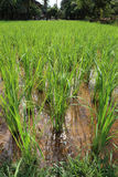 Crecimiento del arroz Fotos de archivo libres de regalías