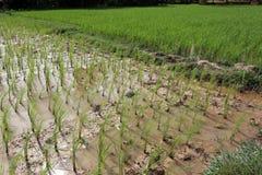 Crecimiento del arroz Foto de archivo libre de regalías