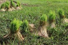 Crecimiento del arroz Foto de archivo