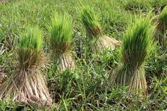 Crecimiento del arroz Fotografía de archivo