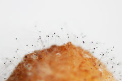Crecimiento del aspergillus flavus de la aspergilosis de las setas en un plátano putrefacto en un fondo blanco Tiroteo macro Sist foto de archivo