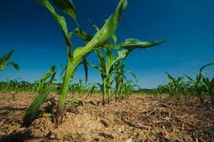 Crecimiento del campo de maíz Imagenes de archivo