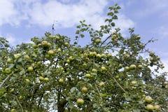 Crecimiento del cielo de la fruta del manzano Fotografía de archivo