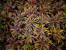 Crecimiento del fruticosa del Cordyline fotos de archivo
